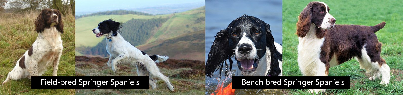 Difference between Field and Bench bred Springer Spaniels